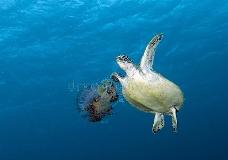 Turtles swimming underwater in the Maldives, making a great image in corals stock photography