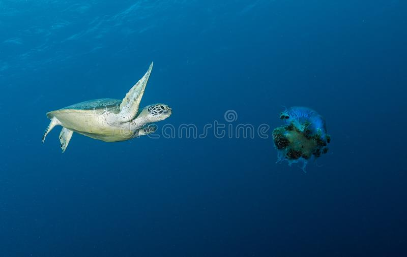 Turtles swimming underwater in the Maldives, making a great image in corals stock image