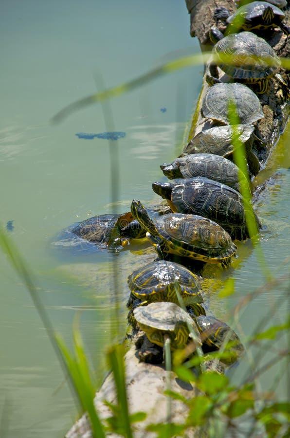 Turtles teamwork. Sequence of turtles sunbathing - Turtles teamwork stock photos