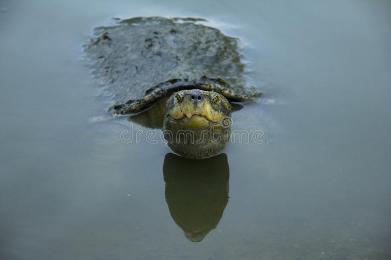 Turtles from temple stock images