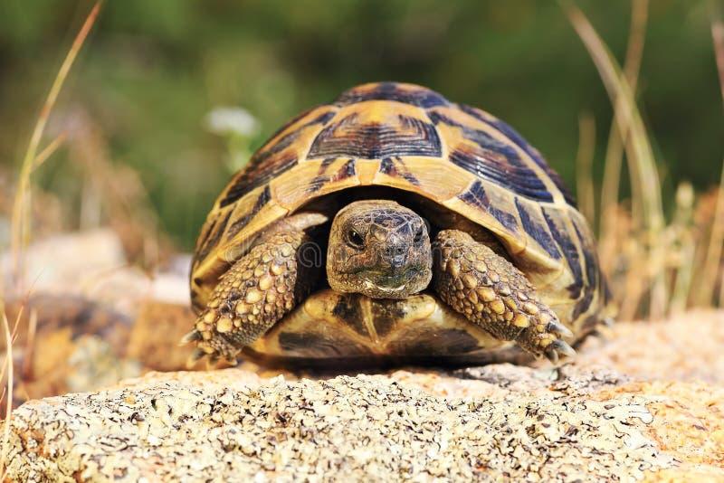 Turtoise grec, animal intégral dans l'environnement naturel photos stock