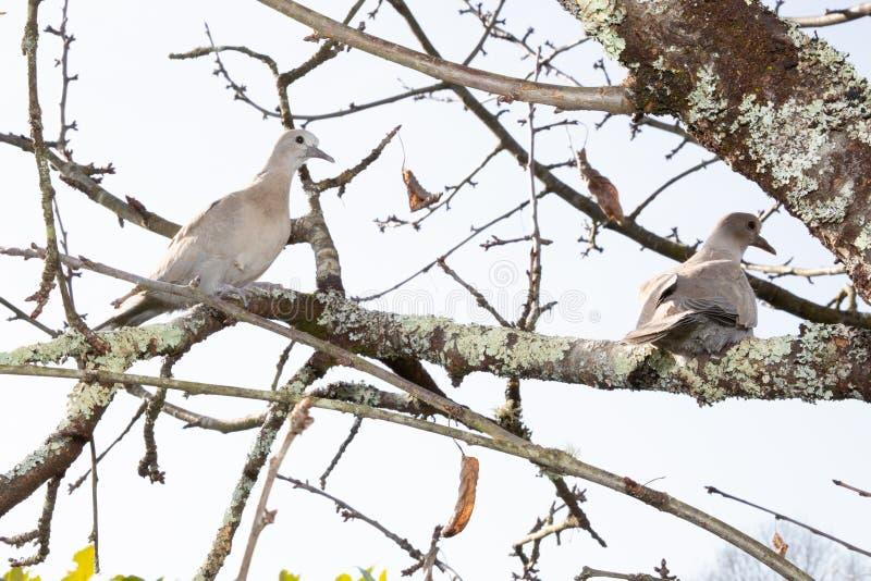 Turturduvor på en filial av en silverpoppelEurasian försåg med krage duvaStreptopeliadecaocto arkivfoto
