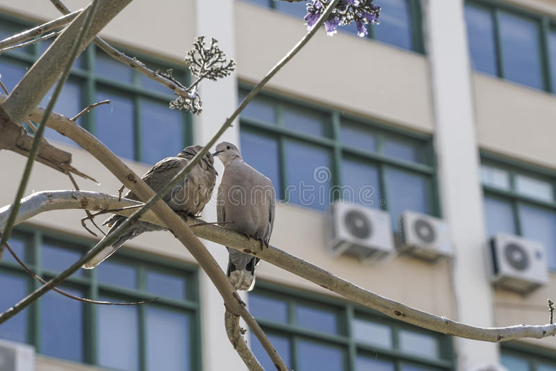Turturduvor på filial av trädet mot windowds av en byggnad fotografering för bildbyråer