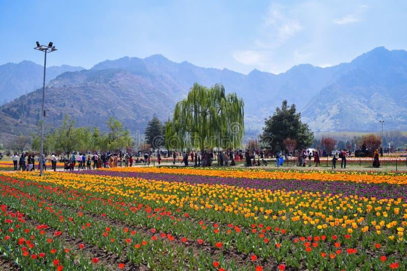 Turyści cieszy się fotografie w Asia wielkim tulipanie i bierze Uprawiają ogródek Srinagar, Kashmir, India obrazy stock