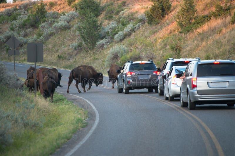Turyści, wakacje, bizon, podróż zdjęcia stock