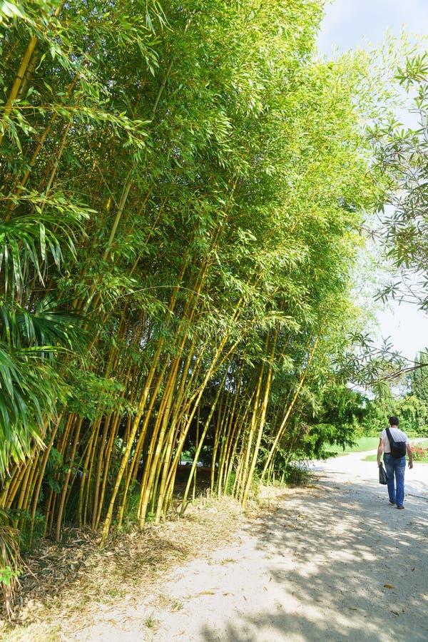 Turysta chodzi wzdłuż alei w parku wzdłuż gąszczy obfitolistny szarozielony lat Phyllostachys viridiglaucescens zdjęcie stock