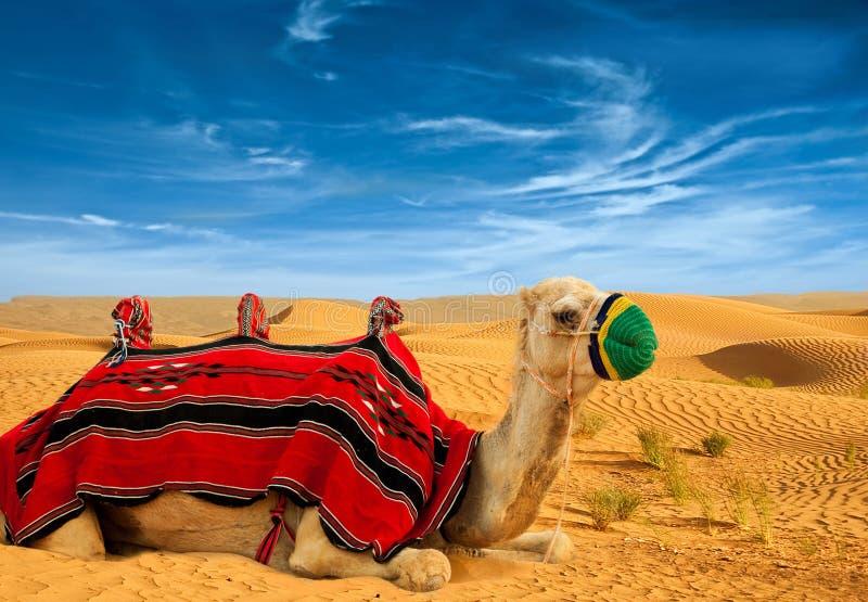 Turystyczny wielbłąd fotografia royalty free
