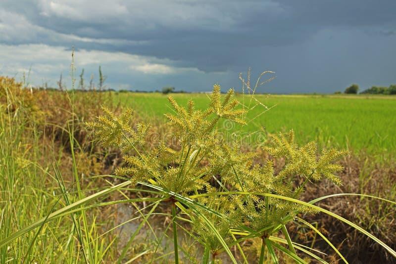 Turzycy infestation ryżu pole zdjęcia royalty free