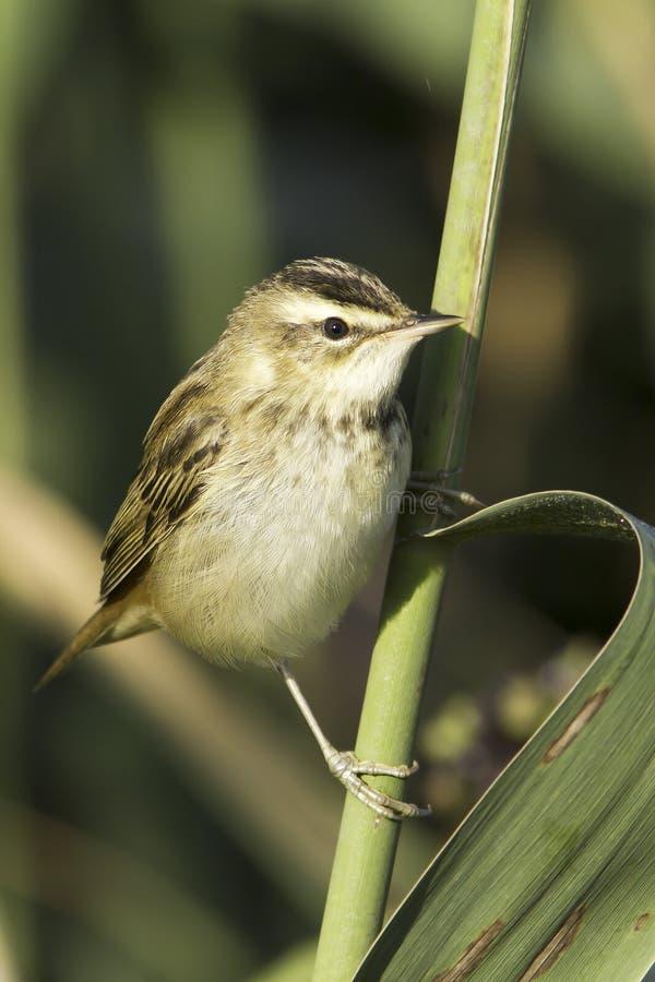 Turzycy warbler, Acrocephalus schoenobaenus/ fotografia stock