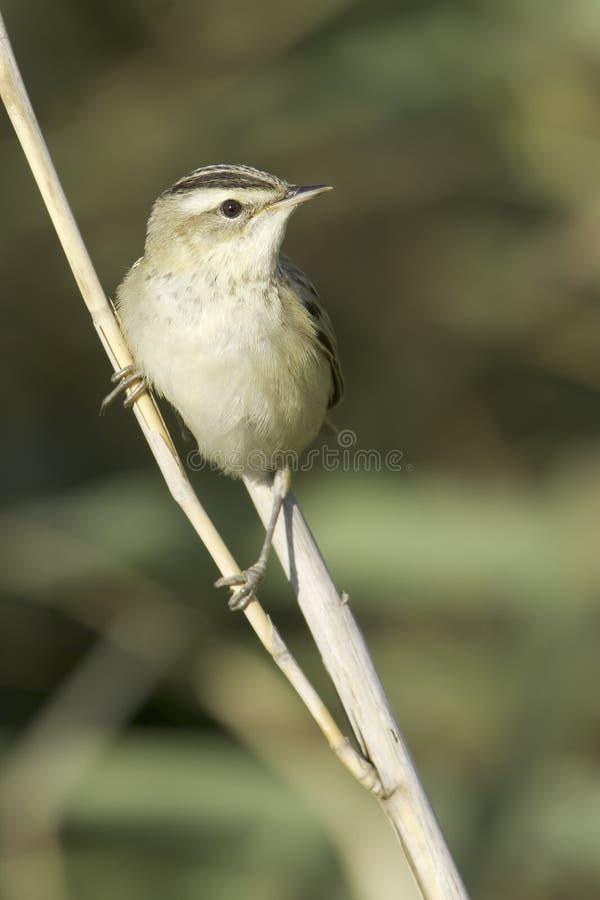 Turzycy warbler, Acrocephalus schoenobaenus/ zdjęcia royalty free