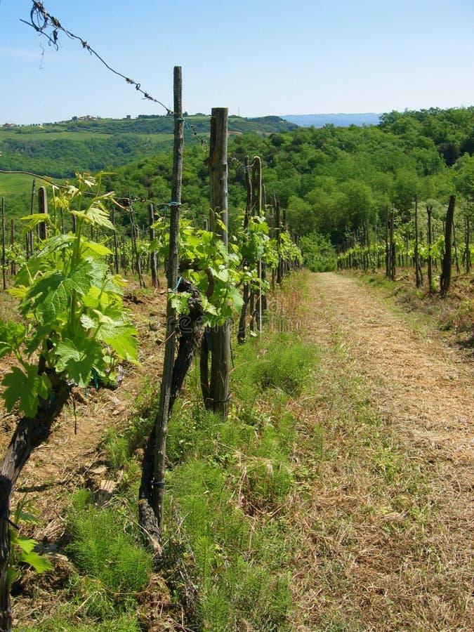 tuscan αμπελώνας άνοιξης στοκ εικόνες με δικαίωμα ελεύθερης χρήσης