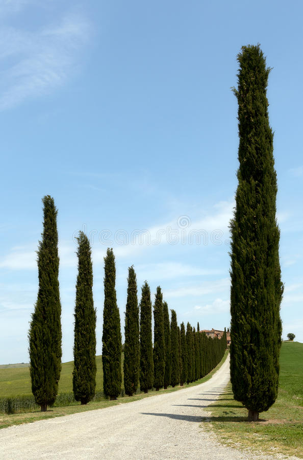 Tuscan Cypress trees. Rows of cypress trees along a road to a Tuscan villa near San Quirico d'Orcia stock images
