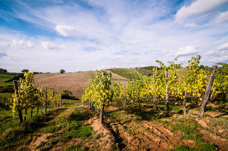 Download Tuscan Grapevine Countryside Landscape Stock Photo - Image: 26985504