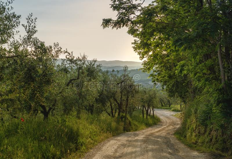 Tuscan landscape in Chianti countryside near Poggibonsi with beautiful olive trees,  Tuscany, Ital stock images