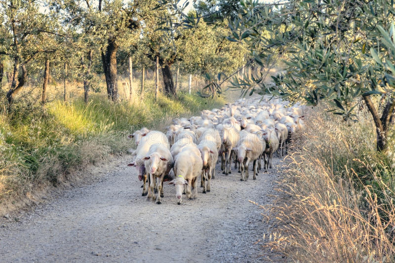 Tuscan landscape with a herd of sheep stock photography