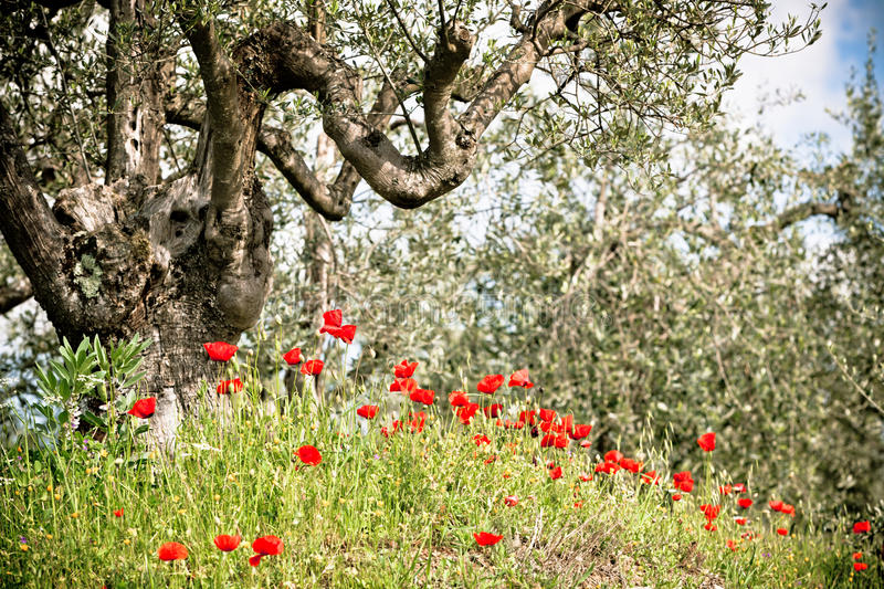 Download Tuscan Poppies And Olive Trees Stock Image - Image: 25565643