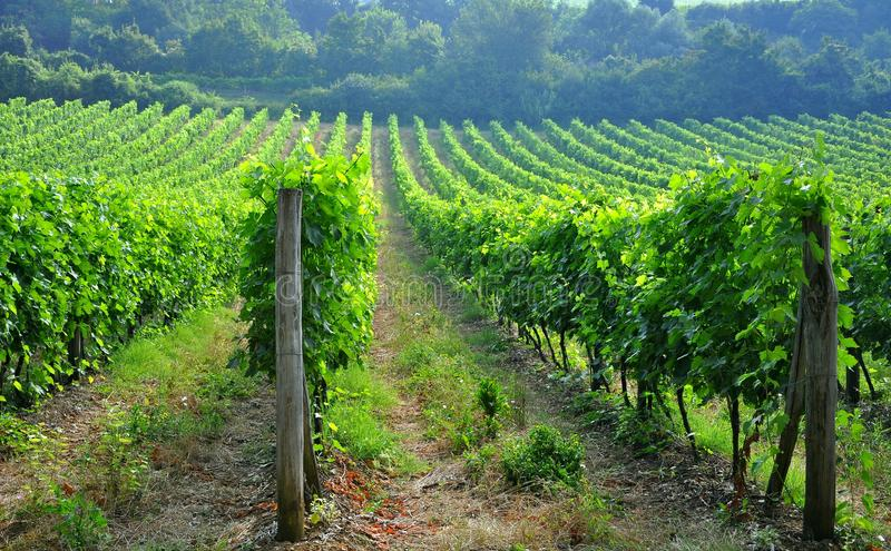Tuscan vineyards in Italy stock photography