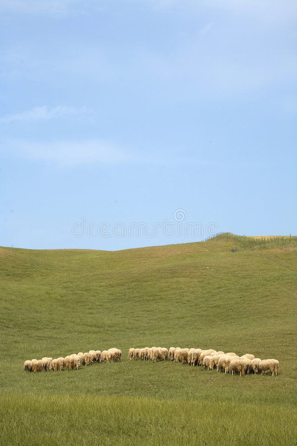 Free Tuscany Countryside, Sheeps Royalty Free Stock Image - 6353056
