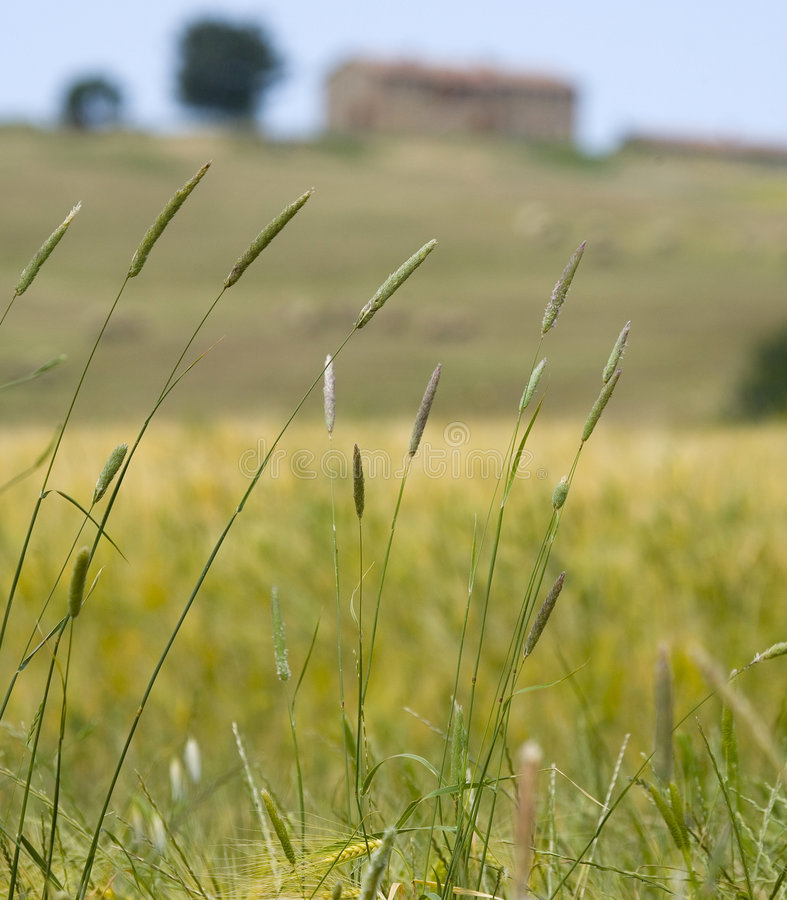 Free Tuscany Countryside, Spikes Stock Images - 6352694