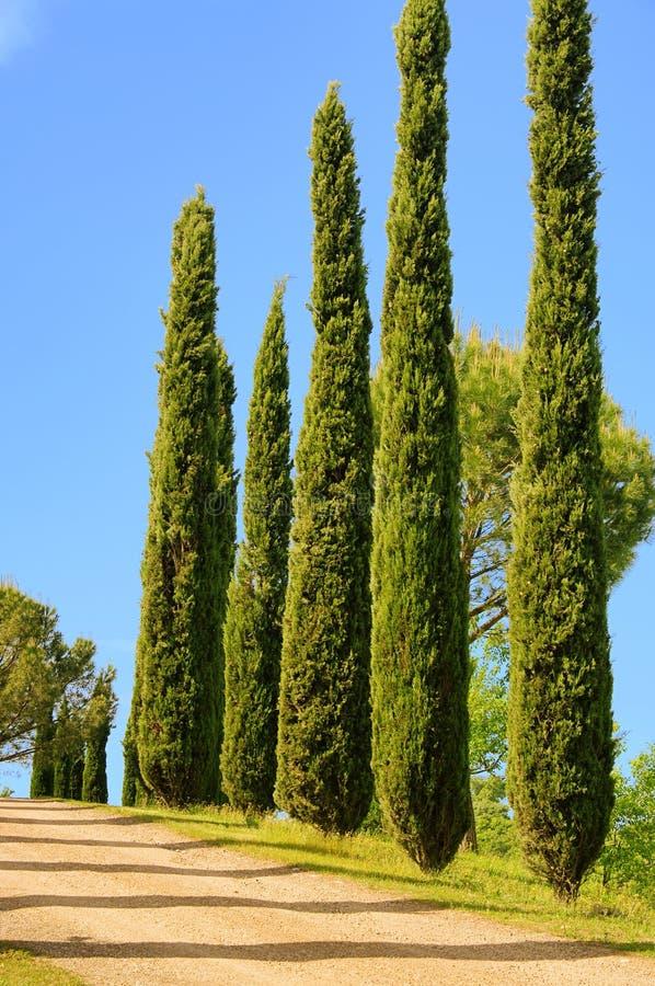 Download Tuscany Cypress Stock Photo - Image: 17665100