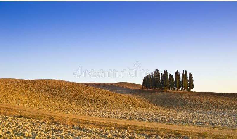 Download Tuscany cypresses stock image. Image of tuscany, corn - 24654565