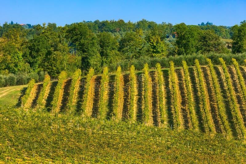 Tuscany krajobraz z winniców rzędami zdjęcia stock
