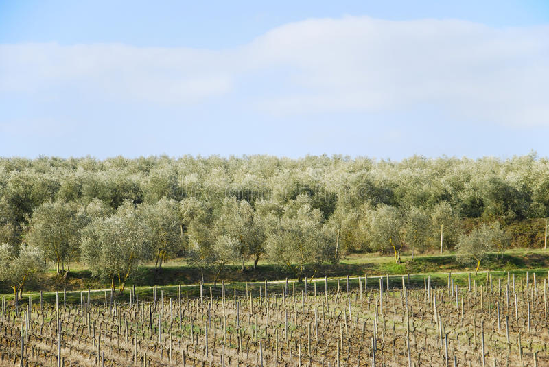Download Tuscany landscape stock photo. Image of cultivated, olive - 12998870
