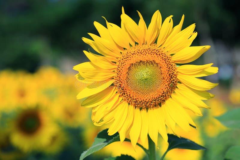 Tuscany solrosor arkivfoto