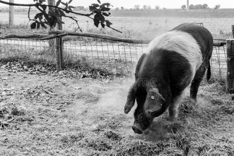 Pig of Cinta Senese royalty free stock photography