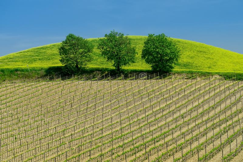Tuscany vineyard in the spring time with green trees and blue sky stock photo