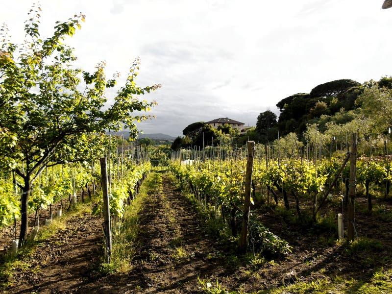 Tuscany vingård nära Pisa royaltyfria foton