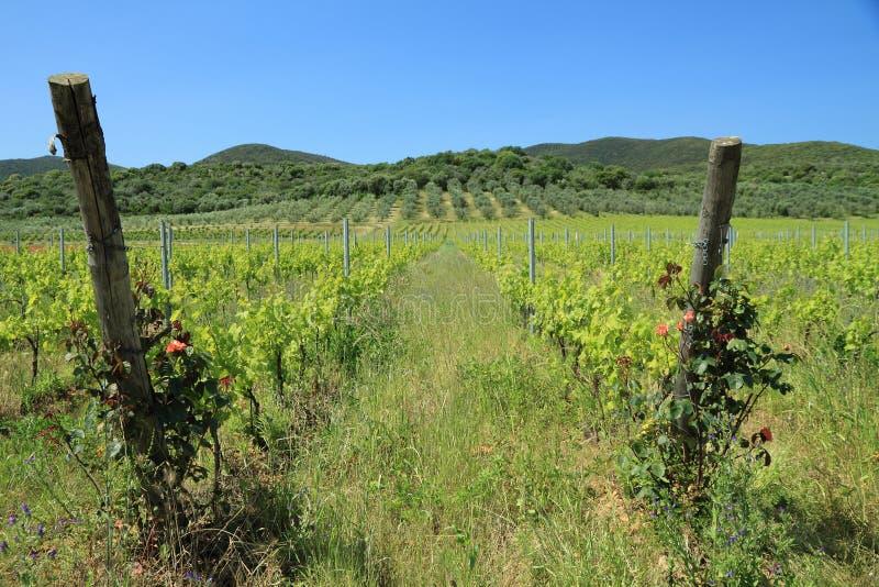 tuscany vingårdar royaltyfria foton