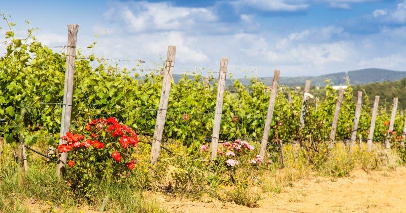Tuscany Wineyard arkivbild