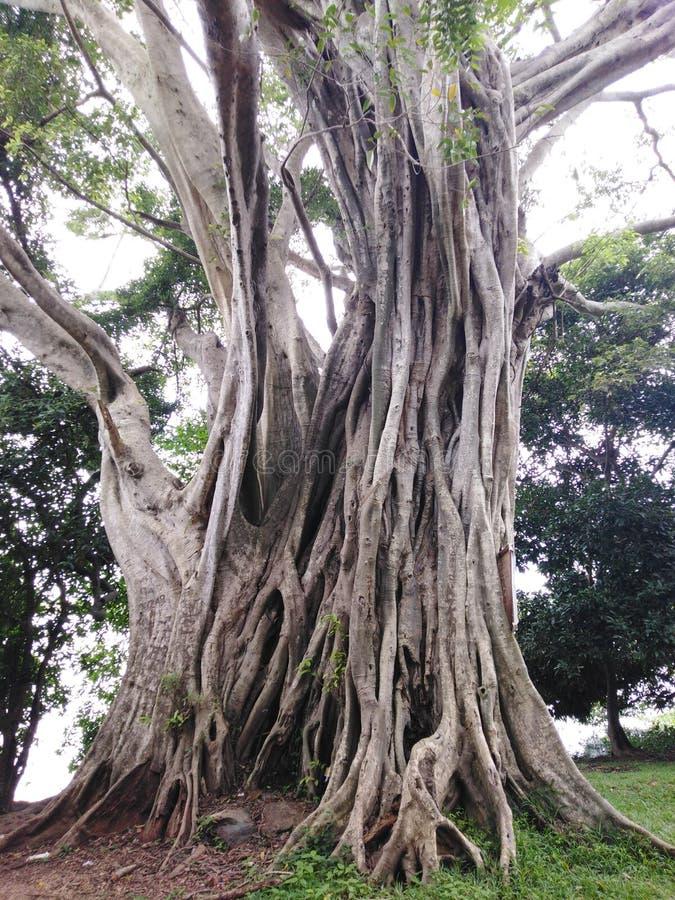 Tusen år gamla enorma träd royaltyfri foto