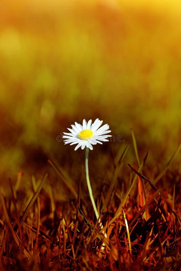 Tusensköna i bränt gräs royaltyfri fotografi