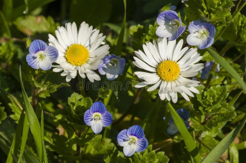 Tusensköna- och Veronica-blommor arkivbilder