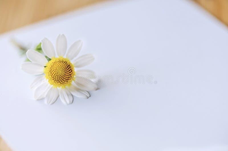 Tusensköna på en vit bakgrund och utrymme för text- eller logobilden, slut upp arkivfoto