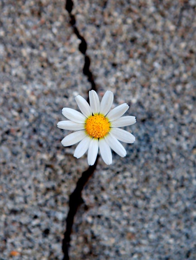 Tusensköna som uthärdas från en spricka i asfalten royaltyfria bilder