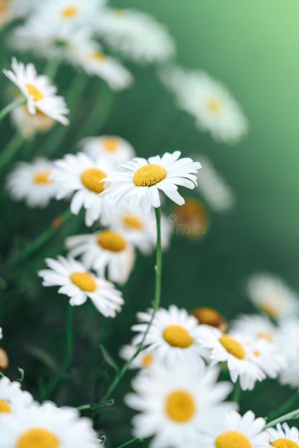 Tusenskönablomma i det gröna grunda djupet för gräs av fältet Den h?rliga tusensk?nan blommar i natur royaltyfri bild