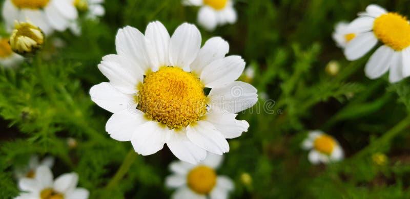 tusenskönablommadetalj med dess vita kronblad som mottar solljus på en bakgrund av gröna sidor och andra tusenskönablommor arkivbild