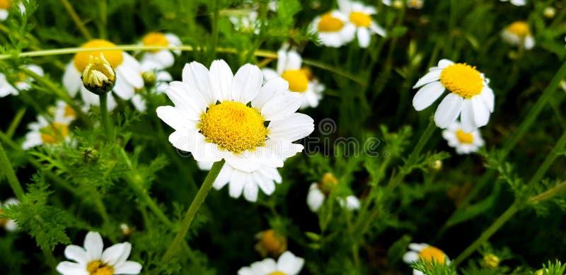 tusenskönablommadetalj med dess vita kronblad som mottar solljus på en bakgrund av gröna sidor och andra tusenskönablommor royaltyfri foto