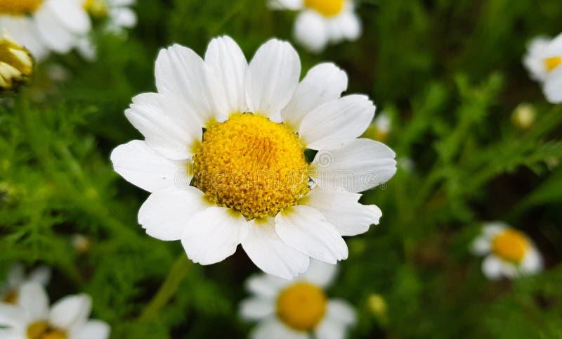 tusenskönablommadetalj med dess vita kronblad som mottar solljus på en bakgrund av gröna sidor och andra tusenskönablommor royaltyfri fotografi