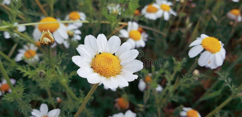 tusenskönablommadetalj med dess vita kronblad som mottar solljus på en bakgrund av gröna sidor och andra tusenskönablommor arkivbilder