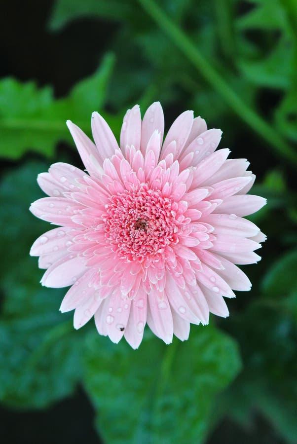 tusenskönan blommar först fokusgerberaen arkivfoton
