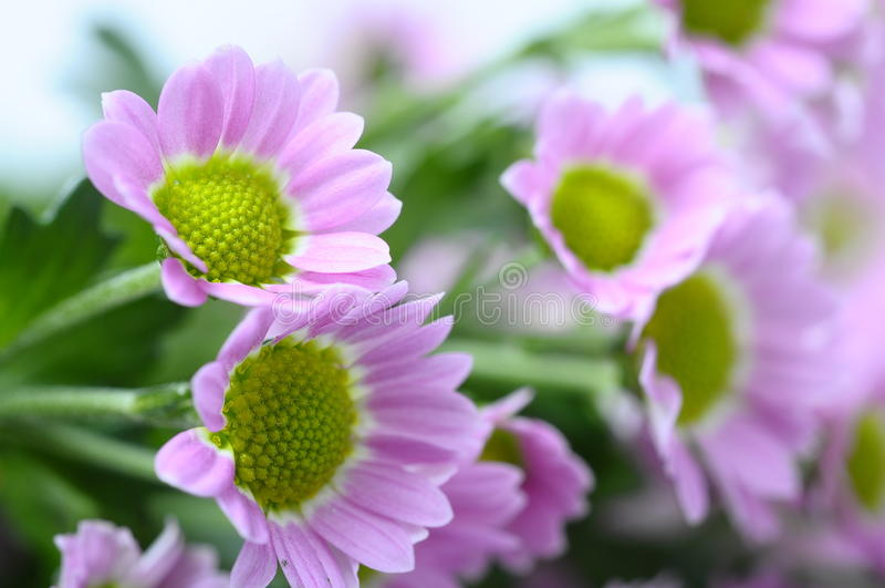 tusenskönan blommar purple arkivbilder
