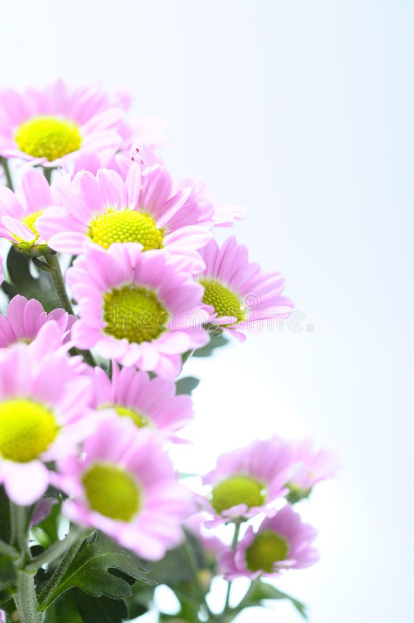 tusenskönan blommar purple fotografering för bildbyråer