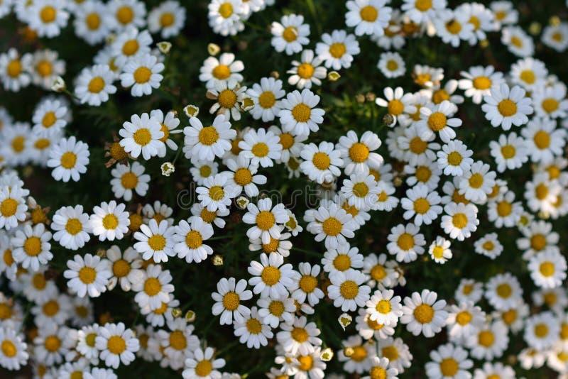 tusenskönan blommar white arkivbild