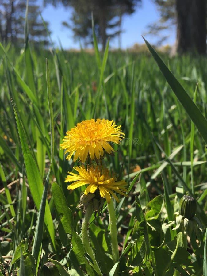 Tusenskönor och gräs royaltyfri fotografi