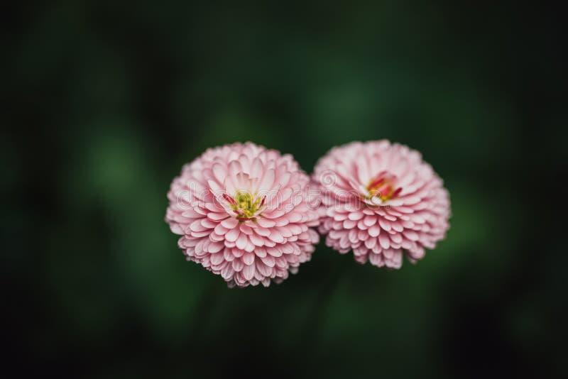 Tusenskönor på ett mörkt - grön bakgrundsnärbild Två härliga frottétusenskönor i trädgården Prästkrage med vita rosa färger arkivbild