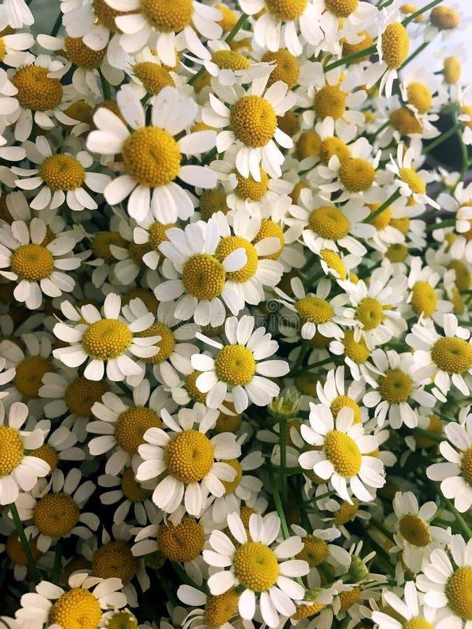 Tusensk?nakamomillblomma Kamomilltusensk?nablommor, f?lt blommar, kamomillen blommar, den soliga dagen f?r sommar arkivfoton